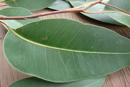 Листьев эвкалипта для ингаляций