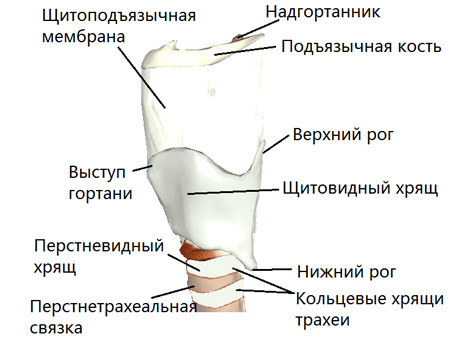 Щитовидный хрящ